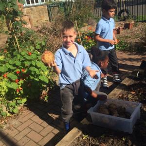 Harvesting potatoes grown at school